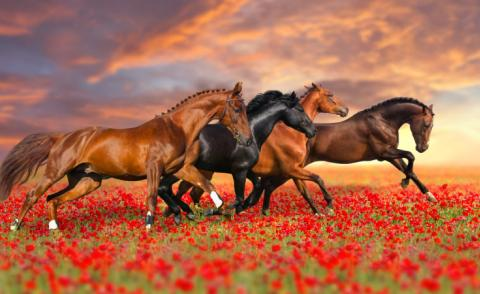 Four horses gallop in poppy field against sunset sky © callipso88 - Fotolia.com