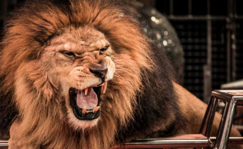 Close-up of roaring lion in circus arena © Nejron Photo - Fotolia.com