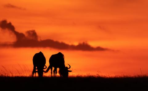 Two blue wildebeest silhouetted against orange sky 740px