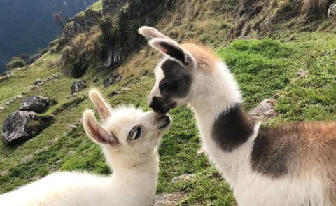 Llama greeting in Peru - Photo by Yuvy Dhaliah on Unsplash